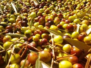 Olive 2 ok