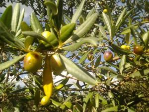 Olive 3 ok